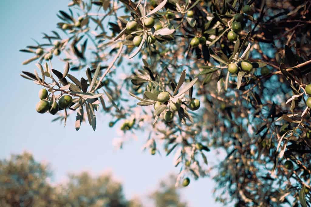 Antyczny sekret piękna   olive oil Balm Boutique scaled